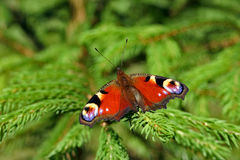 De vlinder van de pauw op de groene sparren stock afbeelding