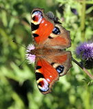 De vlinder van de pauw op een distelbloem Royalty-vrije Stock Afbeeldingen