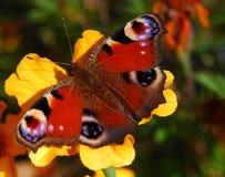 De vlinder van de pauw op oranje bloem Stock Foto