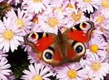 De vlinder van de pauw op tuinbloemen Stock Fotografie