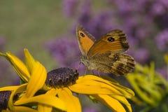 De Vlinder van de portier (tithonus Pyronia) Royalty-vrije Stock Foto