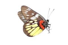 De vlinder van de rood-basis jezebell Royalty-vrije Stock Afbeelding