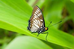 De vlinder van de schoonheid Royalty-vrije Stock Foto's