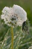 De vlinder van de slaap. Royalty-vrije Stock Afbeelding