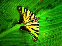 De vlinder van de tijger Stock Foto
