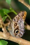 De vlinder van de uil Stock Foto