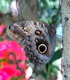 De Vlinder van de uil Royalty-vrije Stock Foto's
