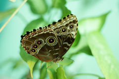 De vlinder van de uil, Caligo memnon Stock Foto