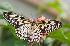 De Vlinder van de Vlieger van het document stock foto