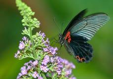 De vlinder van de vos Stock Afbeeldingen