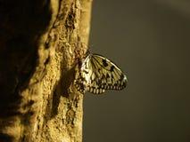 De vlinder van de Witboekvlieger Stock Foto's