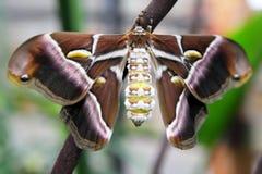 De vlinder van de zijde Stock Afbeelding