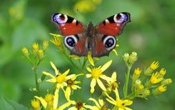 De vlinder van de zomer stock foto's