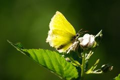 De vlinder van de zwavel   stock afbeelding