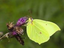 De vlinder van de zwavel op bloem 2 Stock Afbeeldingen