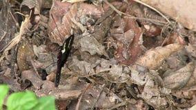 De vlinder van de Doris lange vleugel het openen vleugels stock footage