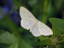 De vlinder van familie Geometridae. Royalty-vrije Stock Afbeelding