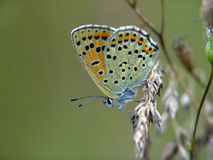 De vlinder van familie Lycaenidae. Royalty-vrije Stock Afbeeldingen