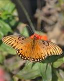 De vlinder van Fritillary van de golf op oranje Zinnia Stock Fotografie