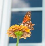 De vlinder van Fritillary van de golf op Zinnia Stock Afbeeldingen