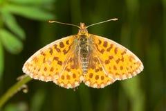 De vlinder van Fritillary van de wever/Boloria D Royalty-vrije Stock Afbeeldingen