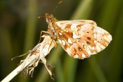 De vlinder van Fritillary van de wever/Boloria D Stock Foto