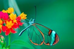 De vlinder van Glasswing stock fotografie