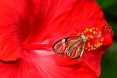 De vlinder van Glasswing Stock Afbeeldingen