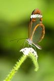 De vlinder van Glasswinged Stock Foto