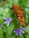 De vlinder van golffritillary Royalty-vrije Stock Afbeelding
