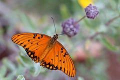 De Vlinder van golffrittilary stock foto