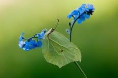 De vlinder van Gonepteryxrhamni op een blauwe bloem stock afbeelding