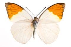 De vlinder van Hebomia royalty-vrije stock foto