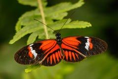 De vlinder van Heliconius Royalty-vrije Stock Afbeeldingen