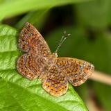 De vlinder van Hermodora metalmark. Royalty-vrije Stock Afbeeldingen