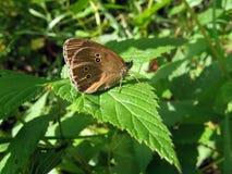 De vlinder van het fluweel Stock Foto's
