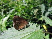 De vlinder van het fluweel op blad Royalty-vrije Stock Foto