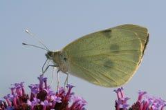 De Vlinder van het Koolwitje op een mooie purpere bloem Stock Fotografie