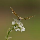 De Vlinder van het koper Stock Afbeelding