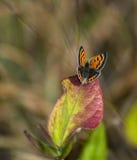 De Vlinder van het koper op het Blad van de Herfst royalty-vrije stock foto's