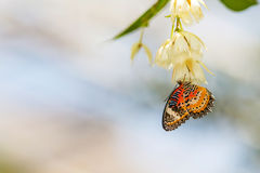 De Vlinder van het luipaardkant (Cethosia cyane) zuigt nectar royalty-vrije stock afbeelding