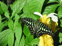 De vlinder van het malachiet Royalty-vrije Stock Afbeeldingen