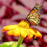 De vlinder van de het Meermonarch van Toronto op een bloem 2017 Stock Foto's
