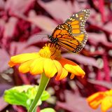 De vlinder van de het Meermonarch van Toronto op een gele bloem 2017 Stock Afbeelding