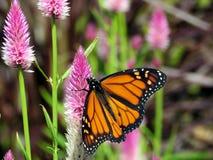 De vlinder van de het Meermonarch van Toronto op een mooie bloem 2017 Stock Afbeeldingen