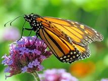 De vlinder van de het Meermonarch van Toronto op de purpere bloem 2017 Royalty-vrije Stock Foto's