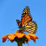 De vlinder van de het Meermonarch van Toronto op het rode madeliefje 2017 Royalty-vrije Stock Afbeeldingen
