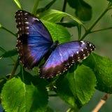 De Vlinder van het Oog van de uil Stock Fotografie