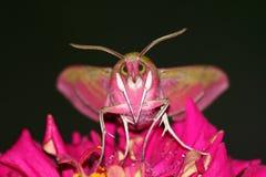 De vlinder van het portret (elpenor Deilephila) stock fotografie