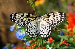 De Vlinder van het rijstpapier Stock Foto